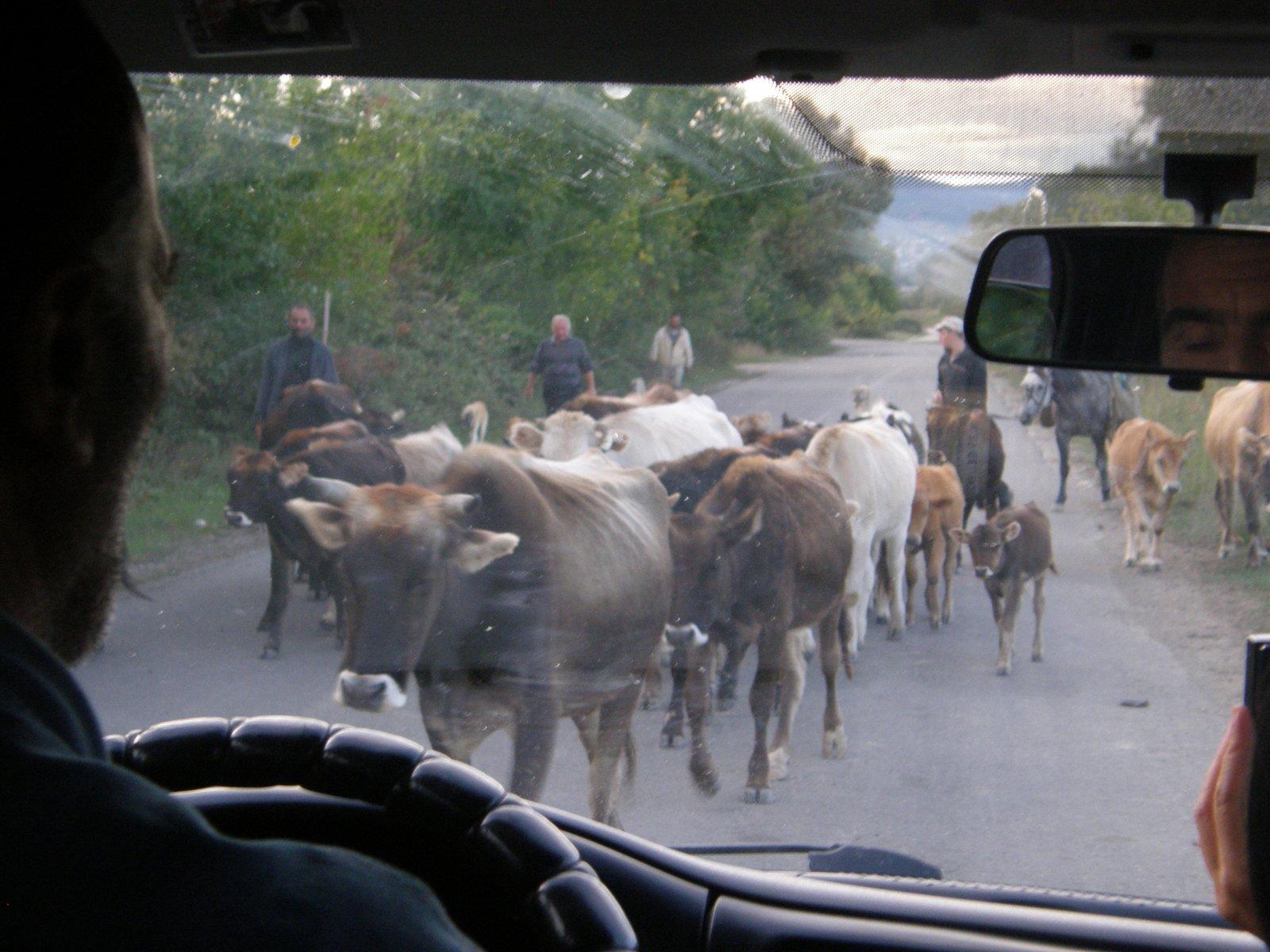 Droga zablokowana przez stado bydła