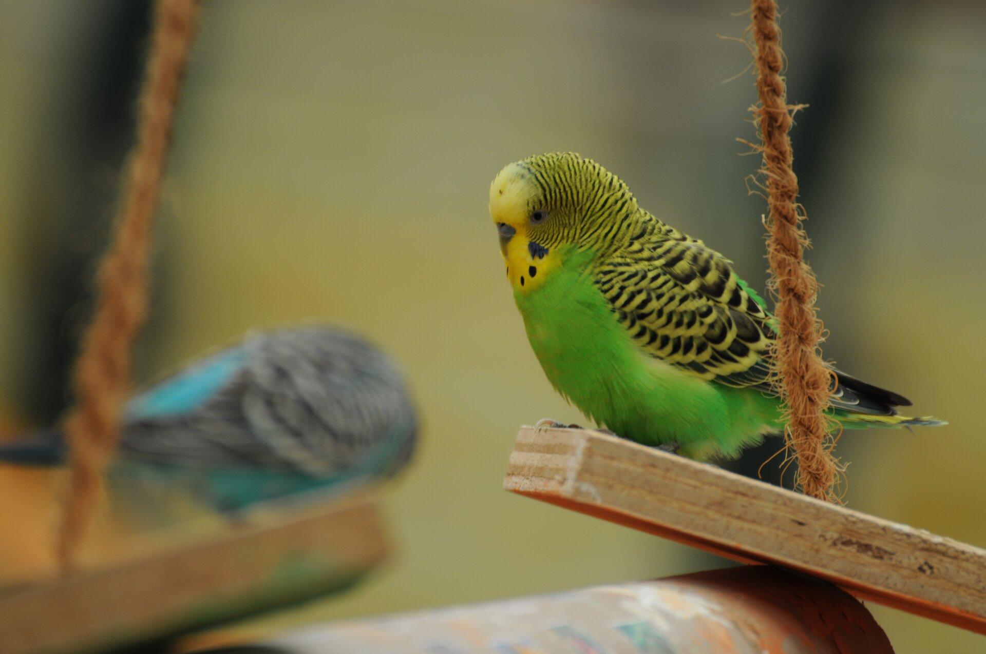 Fotografia prezentuje zielono ,żółto, czarną papużkę falistą siedzącą na huśtawce.