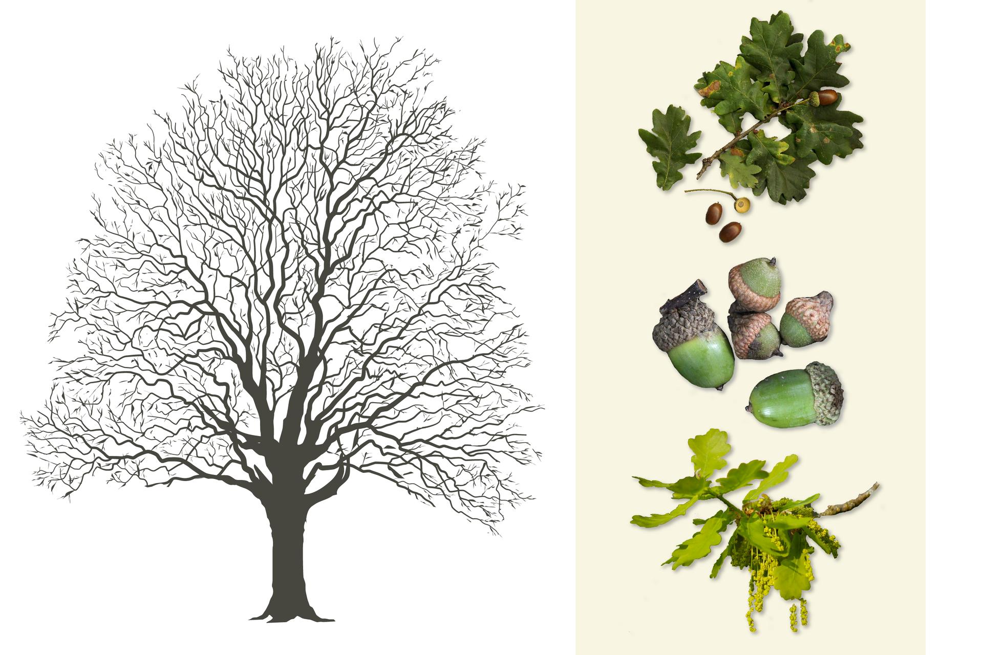 Ilustracja przedstawia ciemno szarą sylwetkę dębu. Po prawej od góry: gałązka zciemno zielonymi liśćmi iowocami. Wśrodku zbliżenie żołędzi: dwóch większych itrzech mniejszych owoców. Żołędzie są zielone imają chropowatą, brązową czapeczkę. Poniżej gałązka zżółto zielonymi liśćmi iżółtymi kwiatami dębu, zebranymi wcienki, zwisające kwiatostany.