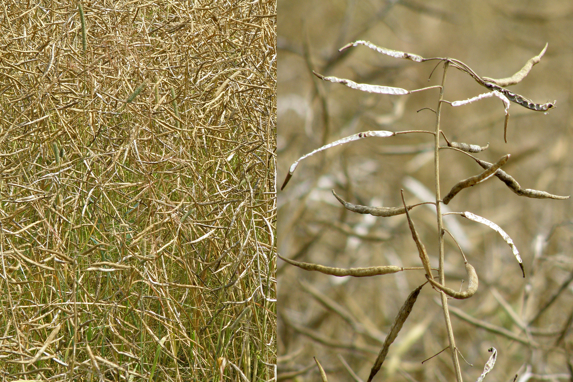 Strąki rzepaku. Widoczne są cienkie strąki zwidocznymi zgrubieniami wmiejscach gdzie znajdują się nasiona.