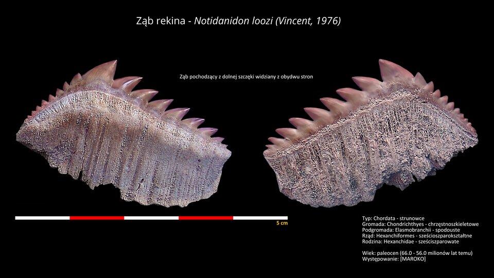 Ilustracja przedstawia ząb rekina widziany zobu stron. Pojedynczy ząb, którego wierzchołek ma kształt trójkąta pokryty jest dodatkowymi ząbkami. Na wierzchołku trójkątnego zęba, ząbki są duże, dalej od wierzchołka małe. Ząbki są koloru brązowego, błyszczące. Pozostała powierzchnia zęba jest beżowa, porowata. Poniżej podziałka. Ząb ma około czterech centymetrów szerokości idwóch centymetrów wysokości.