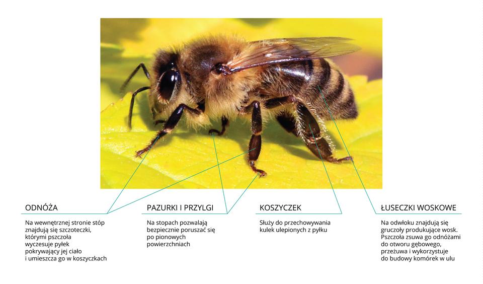 Fotografia przedstawia siedzącą bokiem na żółtym liściu brązową pszczołę. Głowa zlewej, zkrótkimi czułkami idużymi, błyszczącymi oczami. Ciało mocno owłosione, skrzydła złożone wzdłuż tułowia. Części odnóży oznaczone turkusowymi liniami ipodpisami. Pierwsze dwie linie wskazują szczoteczki na stopach, służące do wyczesywania pyłku iumieszczania go wkoszyczkach. Kolejne linie wskazują pazurki iprzylgi, pomocne przy poruszaniu po pionowych powierzchniach. Piąta linia wskazuje koszyczek – zagłębienie na tylnych odnóżach pszczół zbieraczek, otoczone rzędem srebrzystych, gęstych idługich włosków. Do koszyczka pszczoła wkłada zlepiony wkulkę pyłek, aby go przetransportować do ula. Ostania linia wskazuje łuseczki woskowe na odwłoku. Produkowany wgruczołach wosk jest przez pszczoły robotnice zbierany grzebykami tylnych odnóży, przesuwany do żuwaczek iugniatany. Wosk służy do budowy komórek wplastrach.