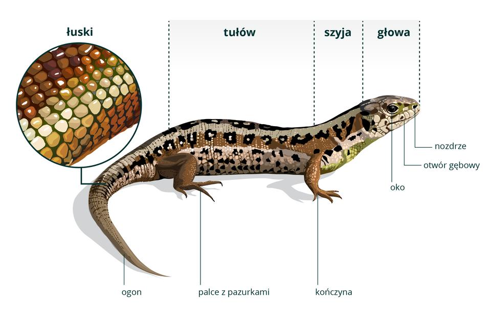 Ilustracja przedstawia poziomo rysunek jaszczurki zwinki zgłową wprawo. Jej skóra jest kolorowa: beżowo - brązowe pasy wzdłuż, na nich czarno – białe plamy. Koniec ogona ikończyny jednolicie brązowe, na głowie iszyi nieco zieleni. Zlewej powiększenie skóry jaszczurki: plamki symbolizują łuski, ułożone wkolorowe pasy. Części ciała podpisane ugóry: tułów, szyja, głowa. Na głowie wskazane nozdrze, otwór gębowy ioko. Na kończynach palce zpazurkami.