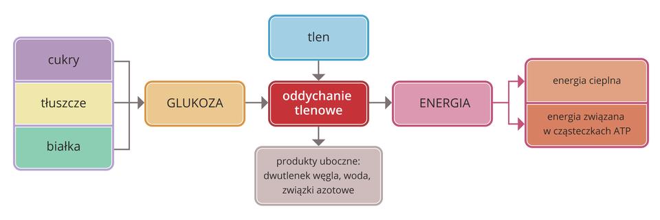 Ilustracja przedstawia schemat oddychania tlenowego. Wkolorowych czworokątach opisano substraty iprodukty przemian chemicznych. Wcentrum znajduje się czerwony prostokąt znapisem oddychanie tlenowe. Od lewej trzy czworokąty symbolizują składniki pokarmowe: białka, cukry itłuszcze. Strzałka od nich wprawo wskazuje glukozę (beżowy prostokąt). Od tego substratu strzałka prowadzi do oddychania tlenowego. Do oddychania tlenowego od góry prowadzi też strzałka od błękitnego tlenu, aod niego wdół do liliowych produktów ubocznych. Strzałka dalej wprawo wskazuje różowy prostokąt produktu oddychania znapisem energia, którą podzielono na cieplną izwiązaną wcząsteczkach ATP.