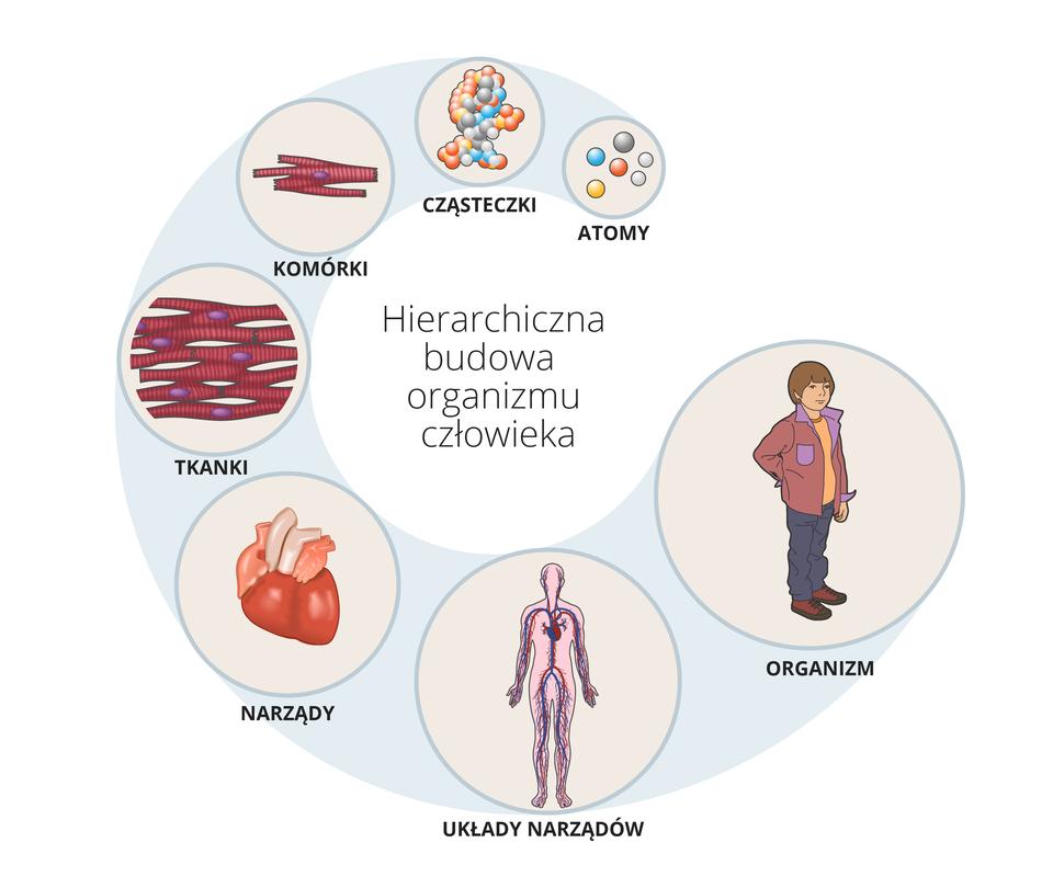 Schemat ilustruje hierarchię wbudowie organizmu człowieka, na którą składają się kolejno: atomy, cząsteczki, komórki, tkanki, narządy, układy narządów, organizm człowieka.