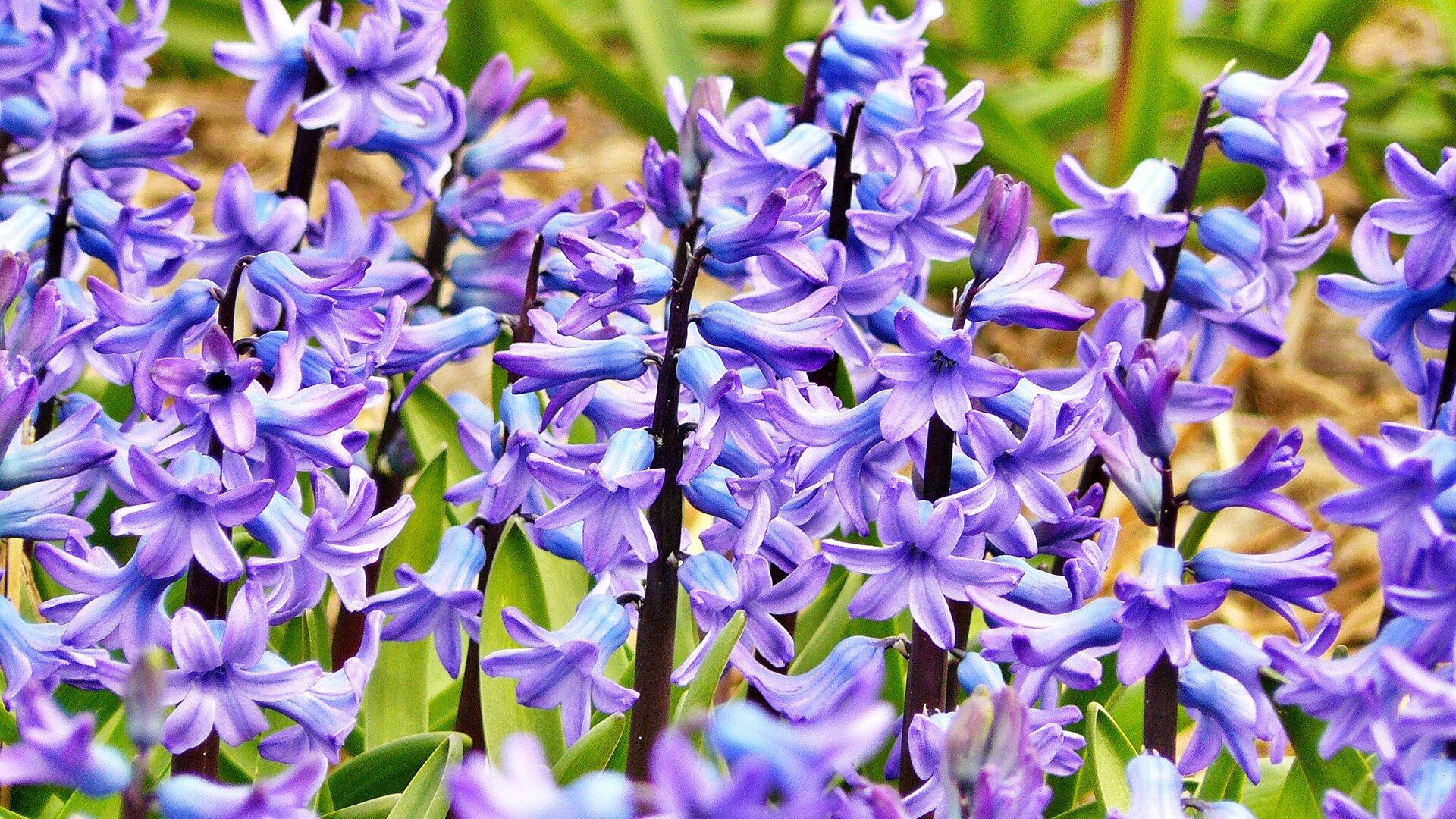 Fotografia prezentuje niebieskie kwiatostany hiacynta.