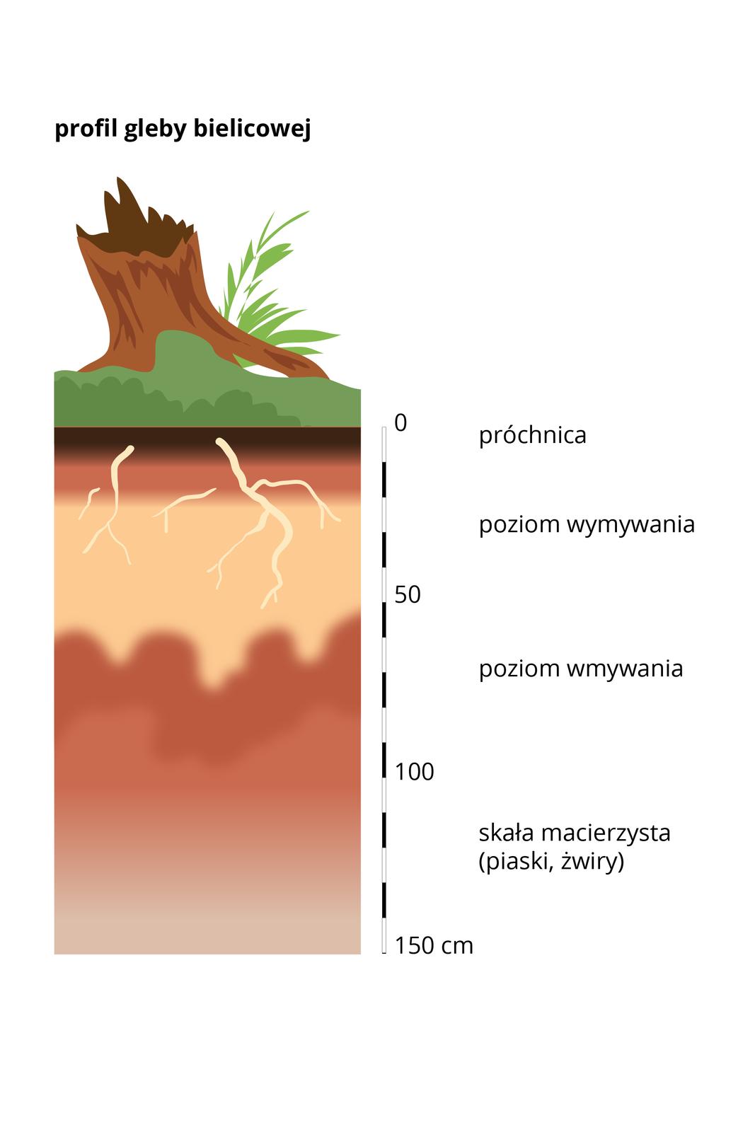 Prostokątny pas – przekrój profilu glebowego bielicy, wktórym kolorami wodcieniach brązu ibeżu przedstawiono poszczególne warstwy gleby. Dolną warstwę stanowi skała macierzysta – piaski, żwiry, awierzchnią warstwę stanowi próchnica. Zprawej strony umieszczono podziałkę iopisano wysokość wcentymetrach.