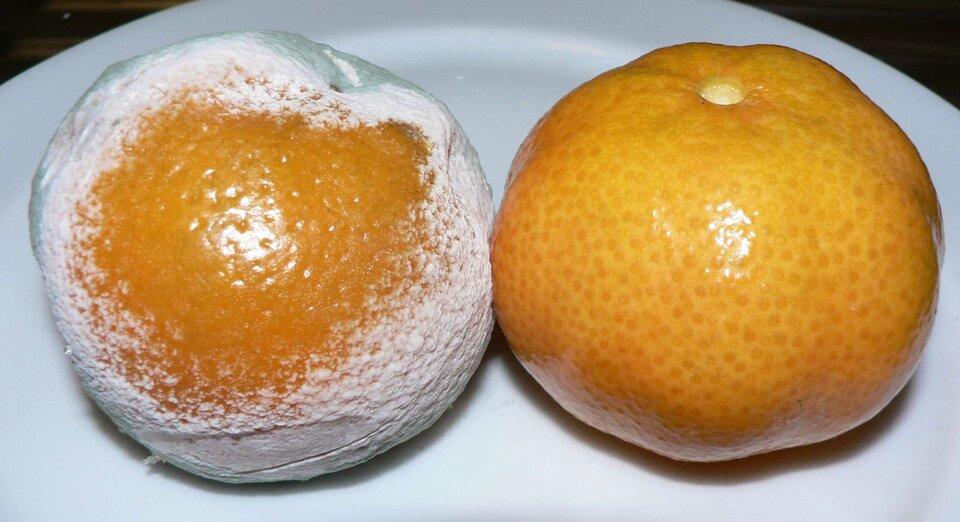 Fotografia przedstawia dwie pomarańcze na białym talerzu. Po prawej jest błyszcząca igładka. Po lewej na skórce pomarańczy znajduje się biały, gęsty nalot. To grzyb pleśniowy pędzlak.