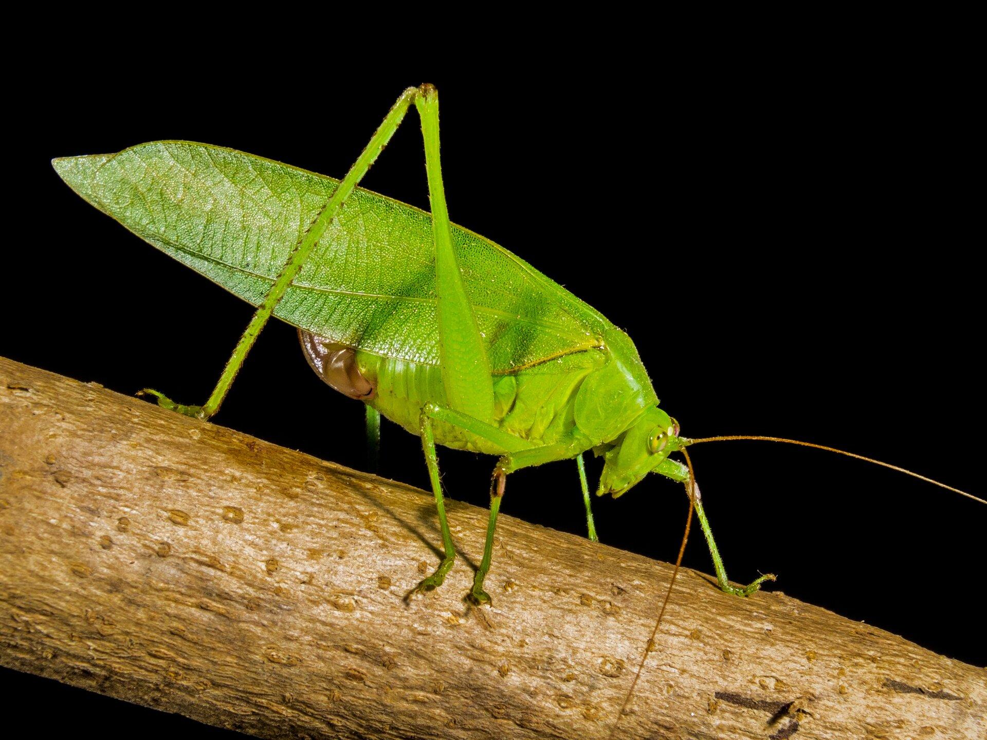 Fotografia przedstawia pasikonika wdużym zbliżeniu. Zielono-brązowy owad siedzi pionowo na źdźble trawy, obejmując je odnóżami. Duża głowa ugóry, na niej krótkie proste czułki iduże oczy. Tylna para kończyn złożona wzdłuż odwłoka.