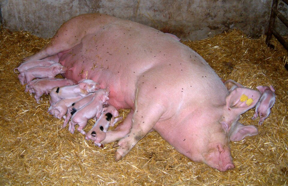 Fotografia przedstawia dużą różową świnię, maciorę, która leży na boku na słomie. Sutki na jej brzuchu ssie osiem malutkich prosiąt. Niektóre mają czarne łatki. Jedno różowe prosiątko znajduje się przy uszach maciory. Ssaki są żyworodne.