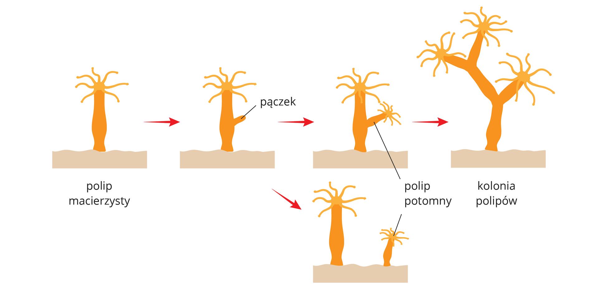 Ilustracja przedstawia sposób rozmnażania polipów, zwany pączkowaniem. Pomarańczowym kolorem oznaczono ciało polipa, bladoróżowym podłoże. Od lewej czerwone strzałki ipodpisy wskazują kolejne etapy pączkowania. Pączek może pozostać na polipie macierzystym, jak wgórnym rzędzie. Może się też oddzielić od niego itę sytuację przedstawia obrazek na dole.