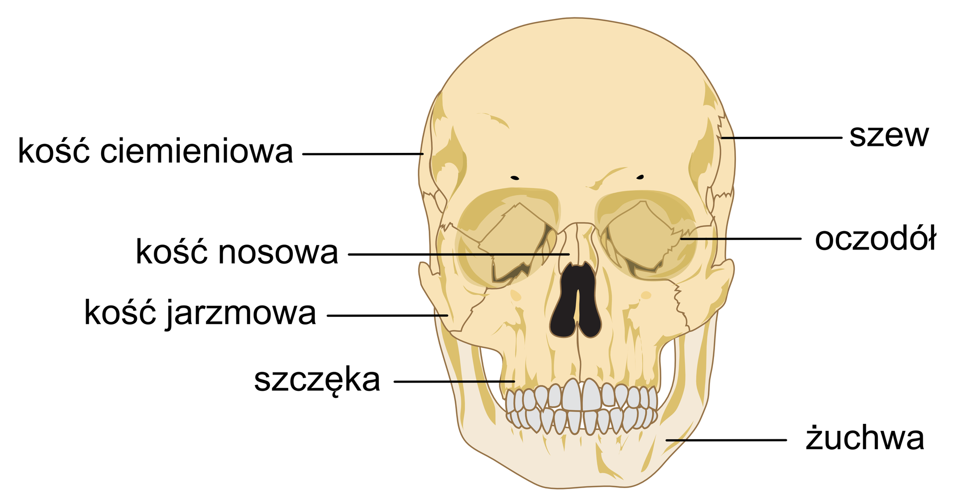 Ilustracja przedstawia widok ludzkiej czaszki zprzodu. Widać kości budujące część mózgową połaczone szwami. Pod częścią czołową oczodoły. Wdolnej części czaszki kości, na których są osadzone zęby.
