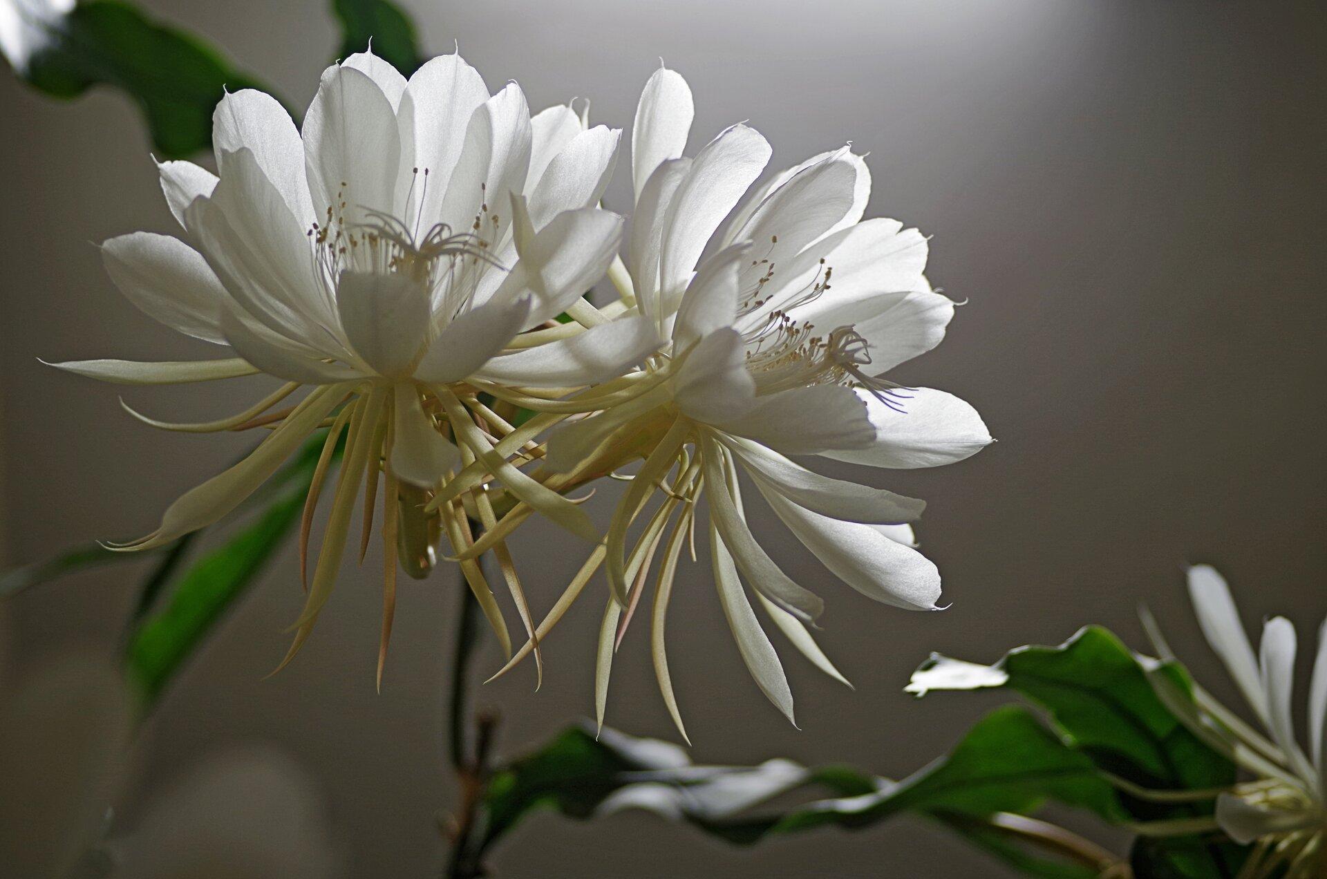 Fotografia przedstawia białe kwiaty, otwierające się nocą. Ten ruch nazywa się fotonastią.