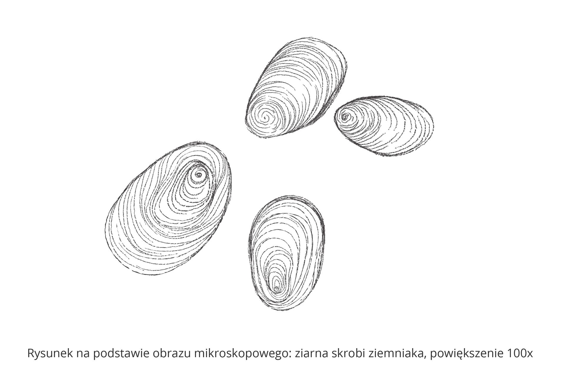 Ilustracja przedstawia odręczny rysunek ziaren skrobi oglądanych przez mikroskop. Ziarna są jajowate, widać na nich koncentrycznie ułożone linie.