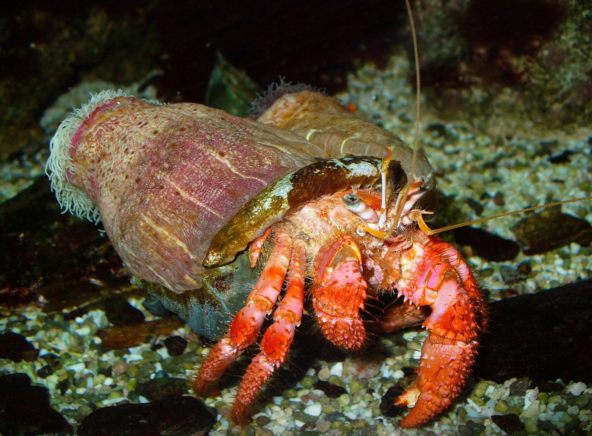 Fotografia przedstawia zbliżenie czerwonego kraba pustelnika wwodzie. Krab wychyla się zzajętej przez niego muszli. Na niej osadzone są dwa różowe ukwiały.