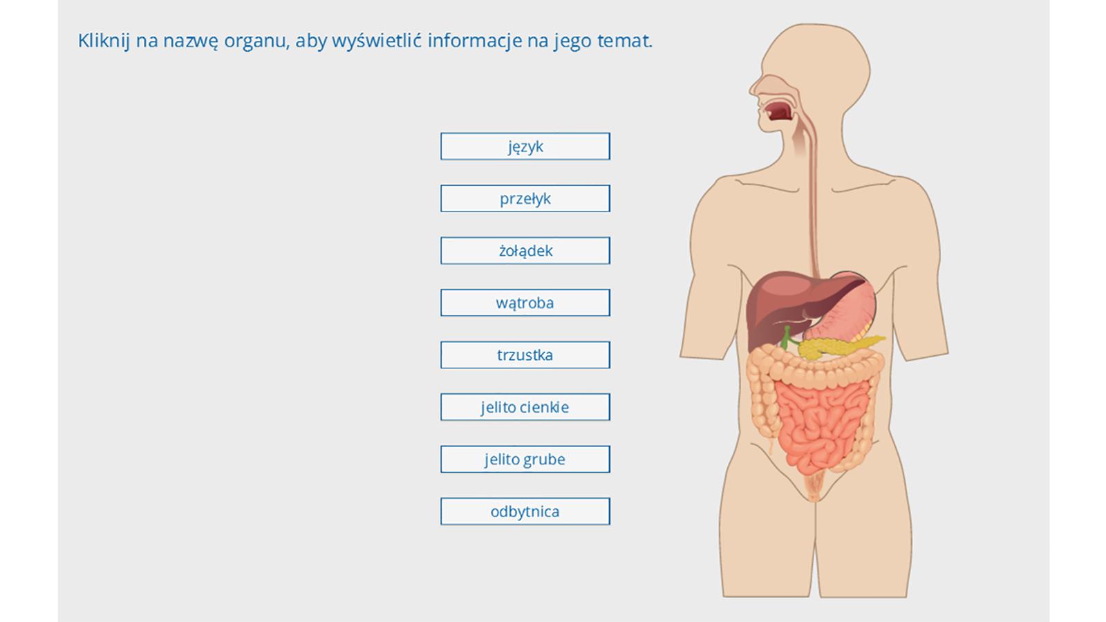 Animacja przestawia budowę układu pokarmowego człowieka, wktórym wyróżniamy: jamę ustną zjęzykiem, przełyk, żołądek, jelito cienkie do którego uchodzą przewody trzustki iwątroby, jelito grube, odbyt. Na ilustracji opisano funkcję każdego zelementów układu pokarmowego.
