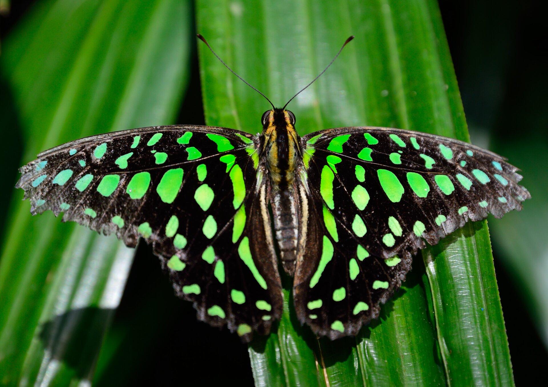 Fotografia pierwsza prezentuje motyla oczarnych skrzydłach zzielonymi plamkami, siedzącego na liściu. Motyl siedzi zrozłożonymi skrzydłami. Głowa znajduje się ugóry zdjęcia. Na niej widoczne duże oczy oraz długie czułki.