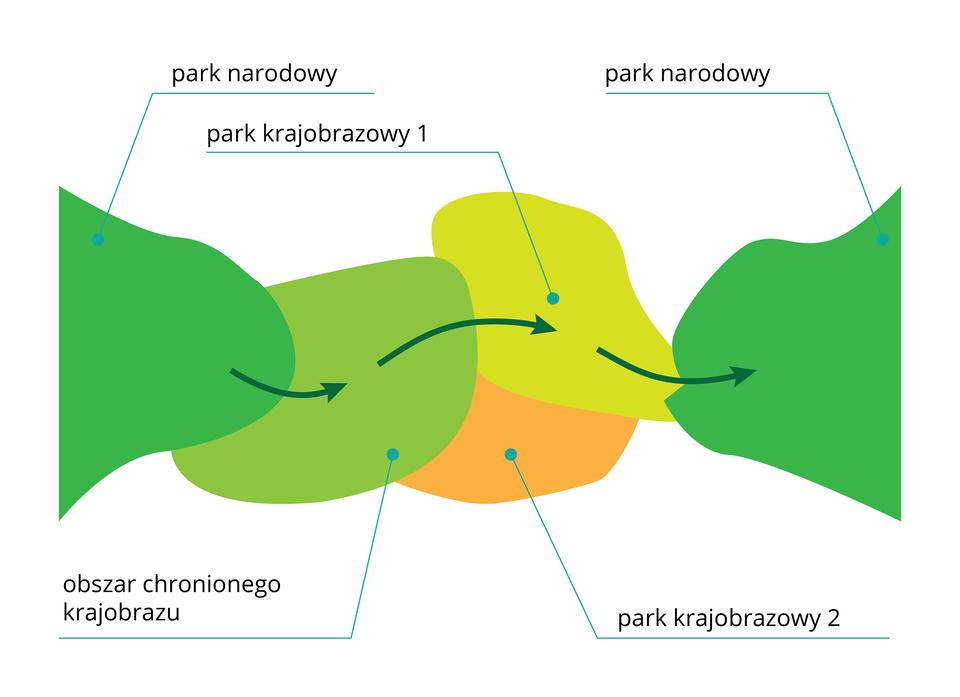 Ilustracja przedstawia podpisane kolorowe plamy, stykające się ze sobą. Oznaczają one tereny chronione wróżnej formie. Na nich znajdują się zielone strzałki, oznaczające korytarz ekologiczny.