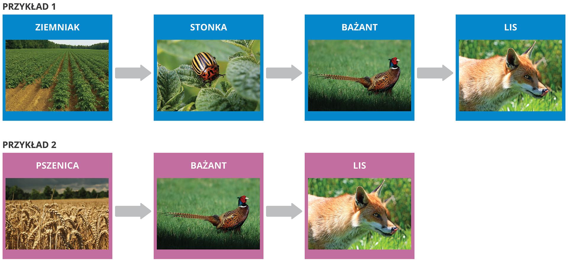 Przykład I: ziemniak → stonka → bażant → lis Przykład II: pszenica → bażant → lis
