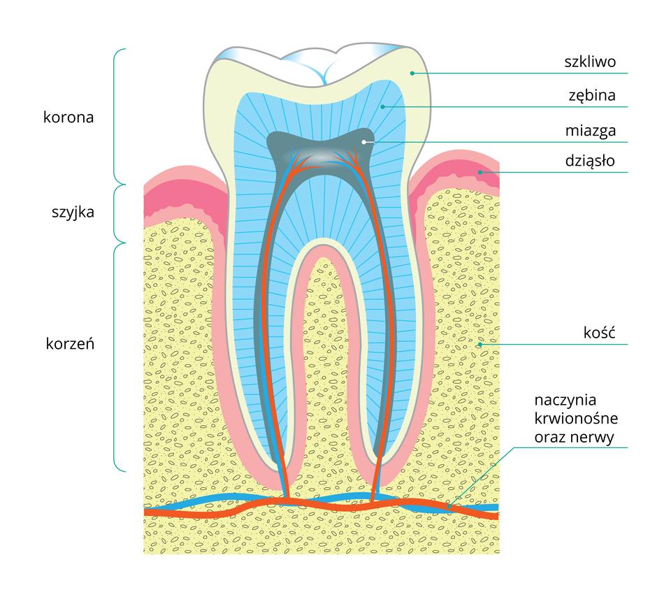 Ilustracja przedstawia schematycznie budowę zęba. Zlewej zaznaczono części zęba: koronę, szyjkę ikorzeń. Zprawej podpisane od góry: białe szkliwo, błękitna zębina, szaroniebieska miazga zczerwonymi naczyniami krwionośnymi iturkusowymi nerwami. Na różowo ukazano dziąsła, leżące na żółtoszarej, cętkowanej kości.