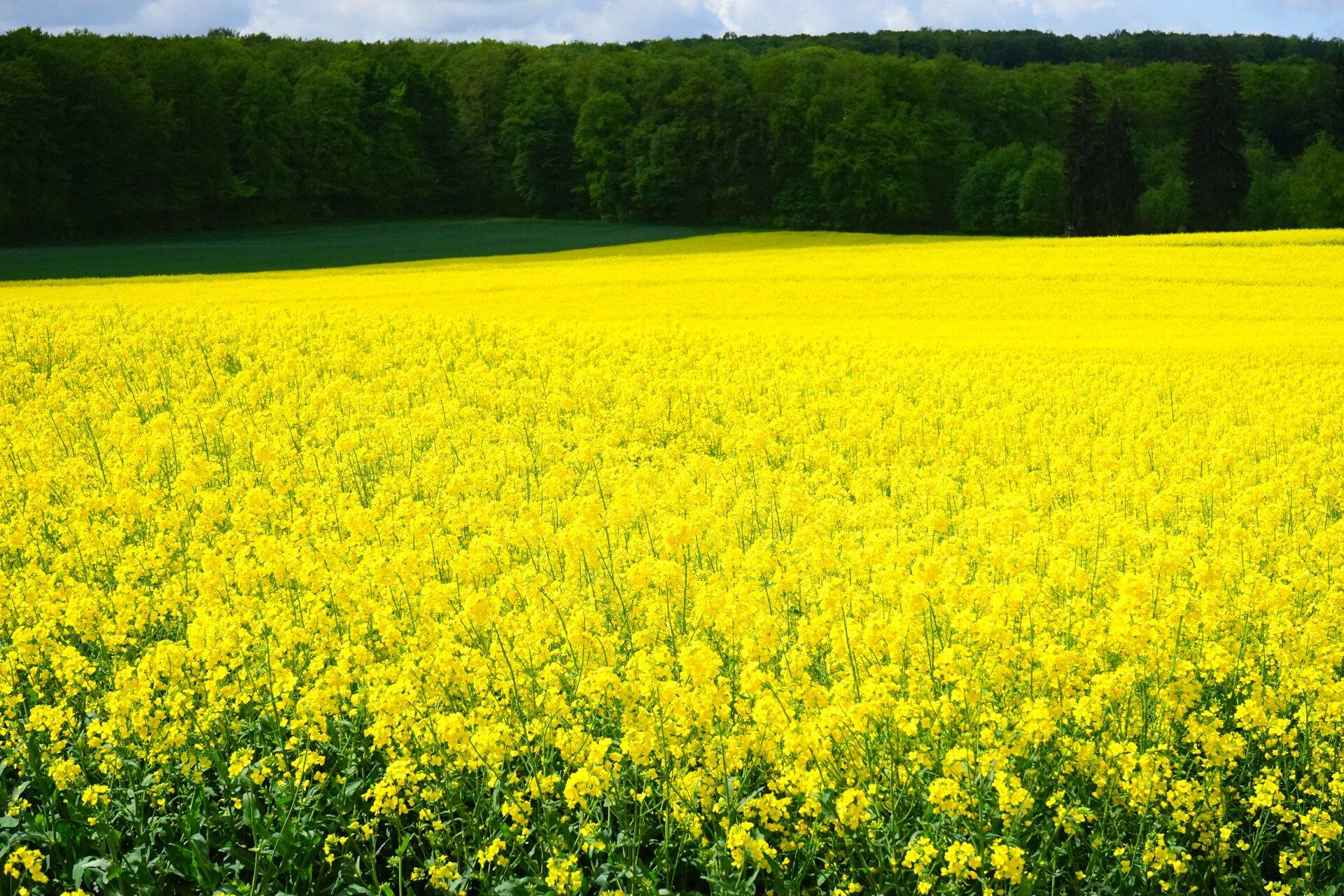 Fotografia pola rzepaku. Widoczne rośliny zżółtymi kwiatami.