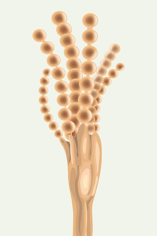 """Ilustracja przedstawia jasnobrązowy twór , podobny do drzewka zkuleczkowatymi """"gałęziami"""". Jest to strzępka grzyba pędzlaka zzarodnikami na końcu."""