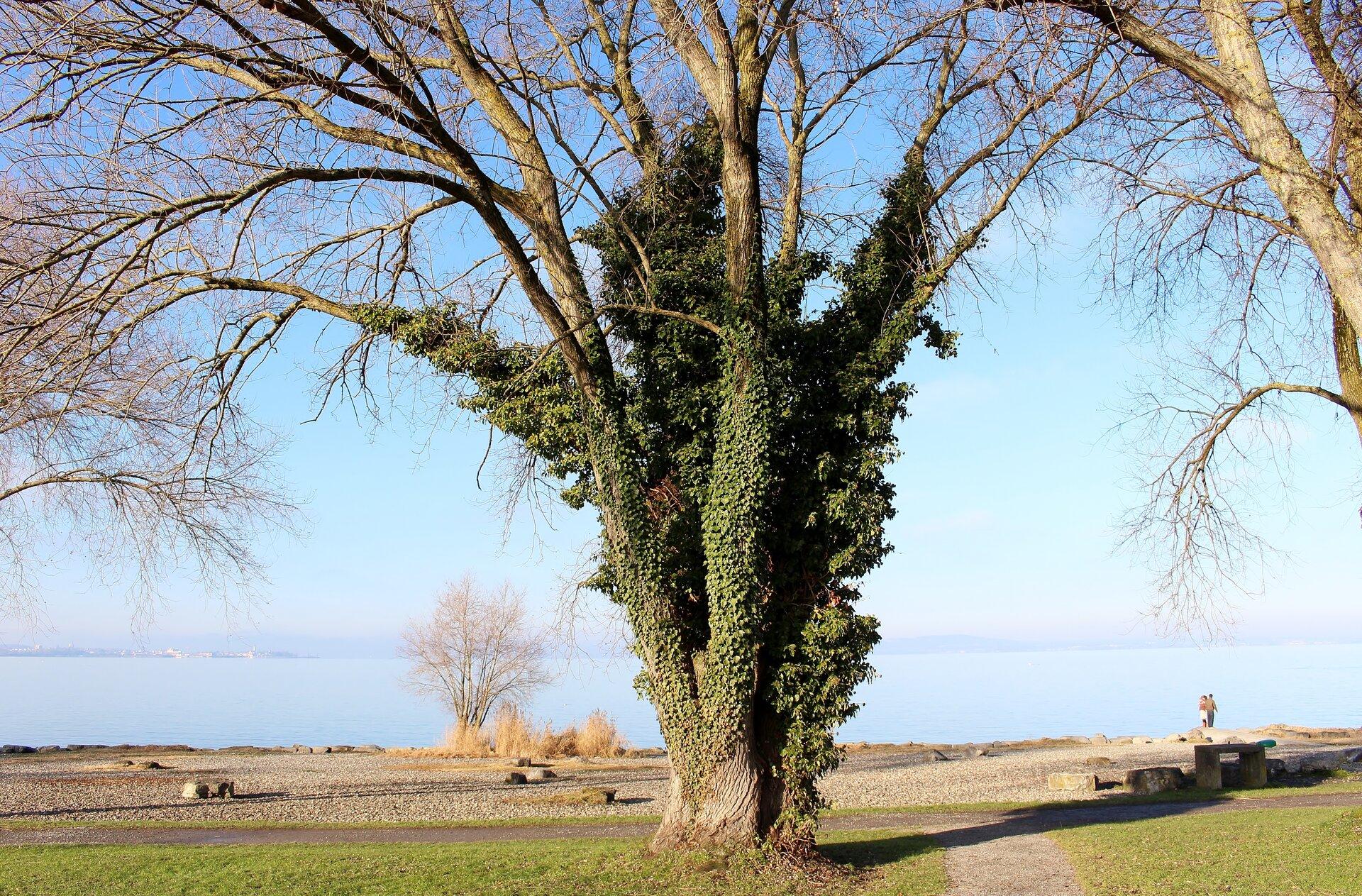 Fotografia przedstawia rozłożyste drzewo pozbawione liści. Jest obrośnięte zielonym bluszczem.