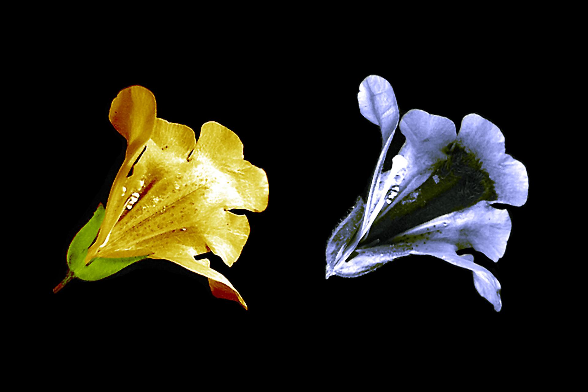 Zdjęcie przedstawia kwiat widziany przez człowieka iprzez pszczołę, człowiek widzi żółty kwiat, pszoła niebieski iod razu wnętrze.