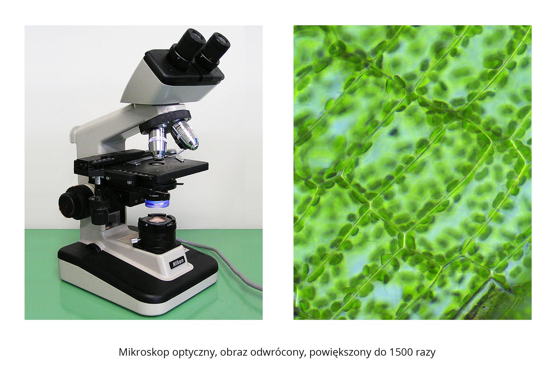 Galeria składa się ztrzech fotografii. Trzecia fotografia składa się zdwóch części. Lewa przedstawia mikroskop optyczny. Prawa przedstawia zielone komórki roślinne, powiększone 1500 razy. Możemy obserwować części składowe komórki.