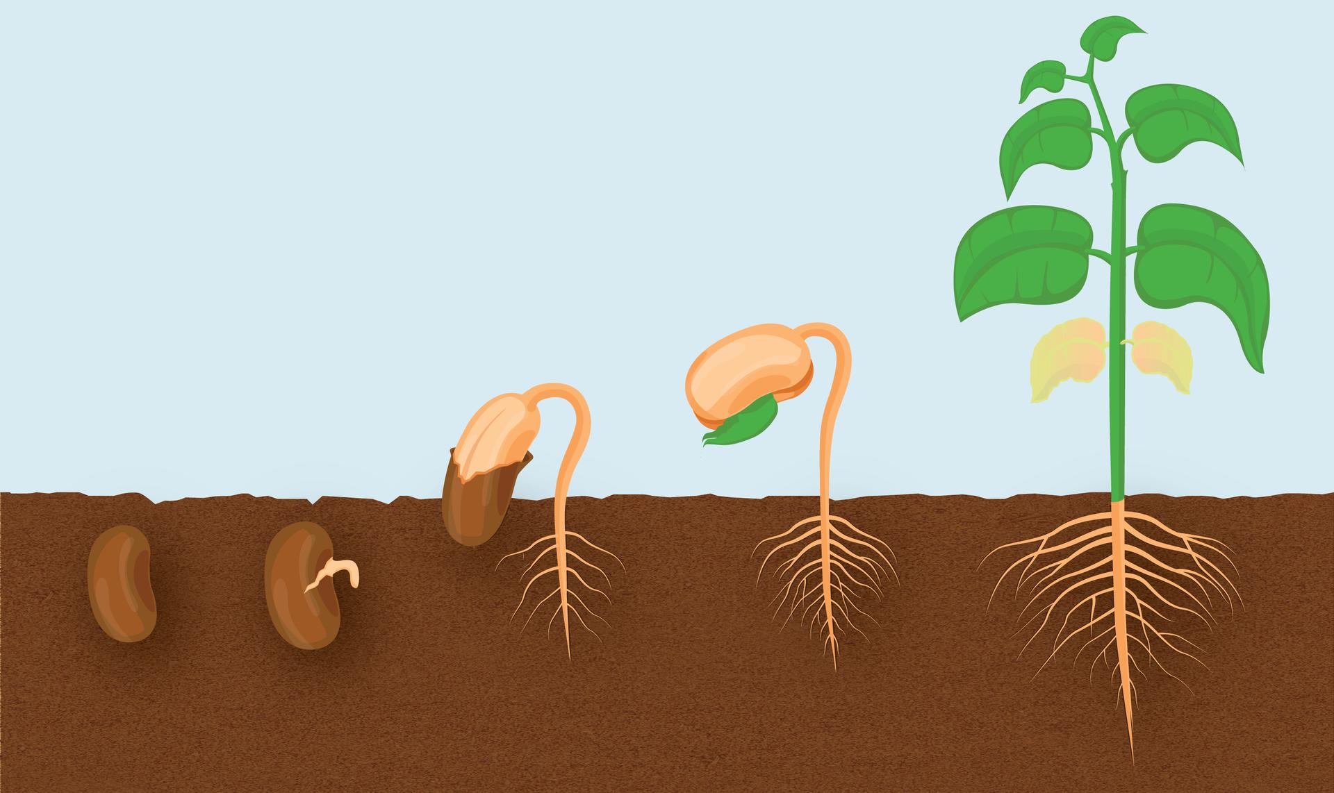 Ilustracja przedstawia schematycznie pięć etapów kiełkowania nasion na tle podzielonym poziomo na część niebieską- atmosferę ibrązową - glebę. Po lewej ciemno brązowe nasiono fasoli znajduje się wglebie. Dalej wlewo wyrasta zniego różowy korzonek, ado góry wznoszą sie liścienie. Między liścieniami pojawia się zielony liść. Ostatni rysunek prezentuje pęd zliśćmi iresztkami liścieni, awglebie duży korzeń palowy.