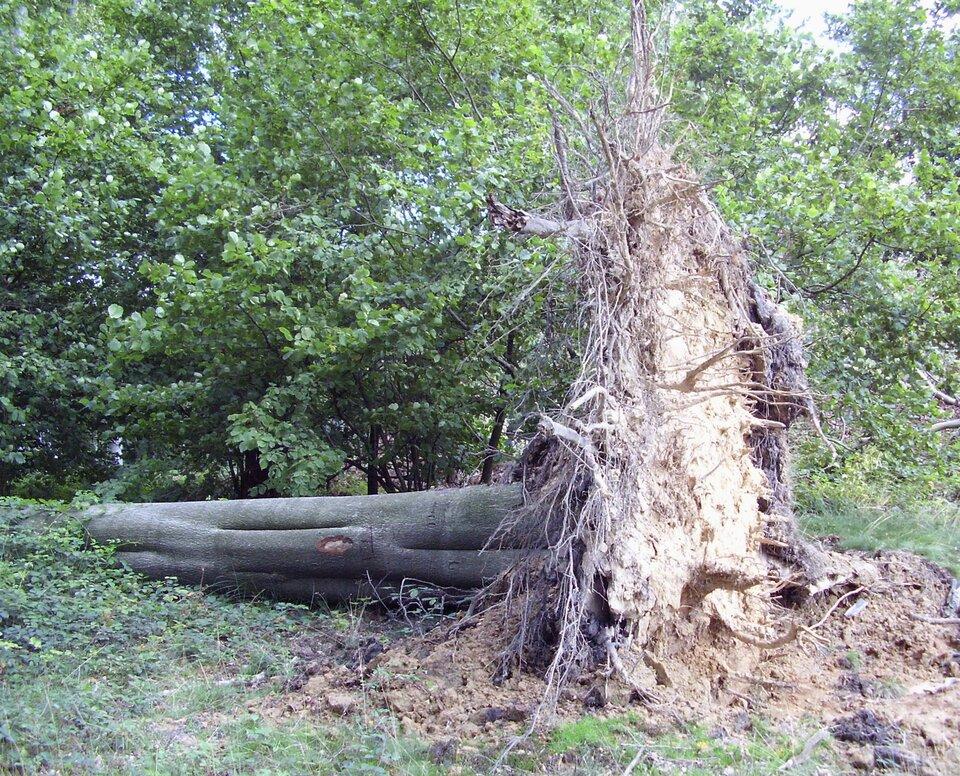 Fotografia przedstawia przewrócone na lewo drzewo wlesie liściastym. Ma szary gładki pień. Jego jasne korzenie sterczą do góry. Pod nimi znajduje się wyrwa wziemi. Drzewo to buk, który ma płytki system korzeniowy.
