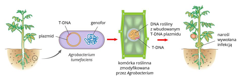 Ilustracja przestawia kolejne stadia infekcji rośliny pomidora przez bakterie glebowe. Pomidora ukazano zkorzeniami wziemi. Wich pobliżu znajdują się liczne małe pałeczki. Strzałka od dwóch znich prowadzi do schematycznego rysunku bakterii. Wjej komórce znajduje się niebieski genofor ikolisty, pomarańczowy plazmid zróżową wstawką. Oznacza ona fragment, zwany T-DNA. Kolejny rysunek to przekrój przez komórkę roślinną. WDNA rośliny znajduje się różowy fragment T-DNA bakterii. ostatni rysunek przedstawia skutki infekcji: dolna część łodygi pomidora jest mocno zgrubiała.