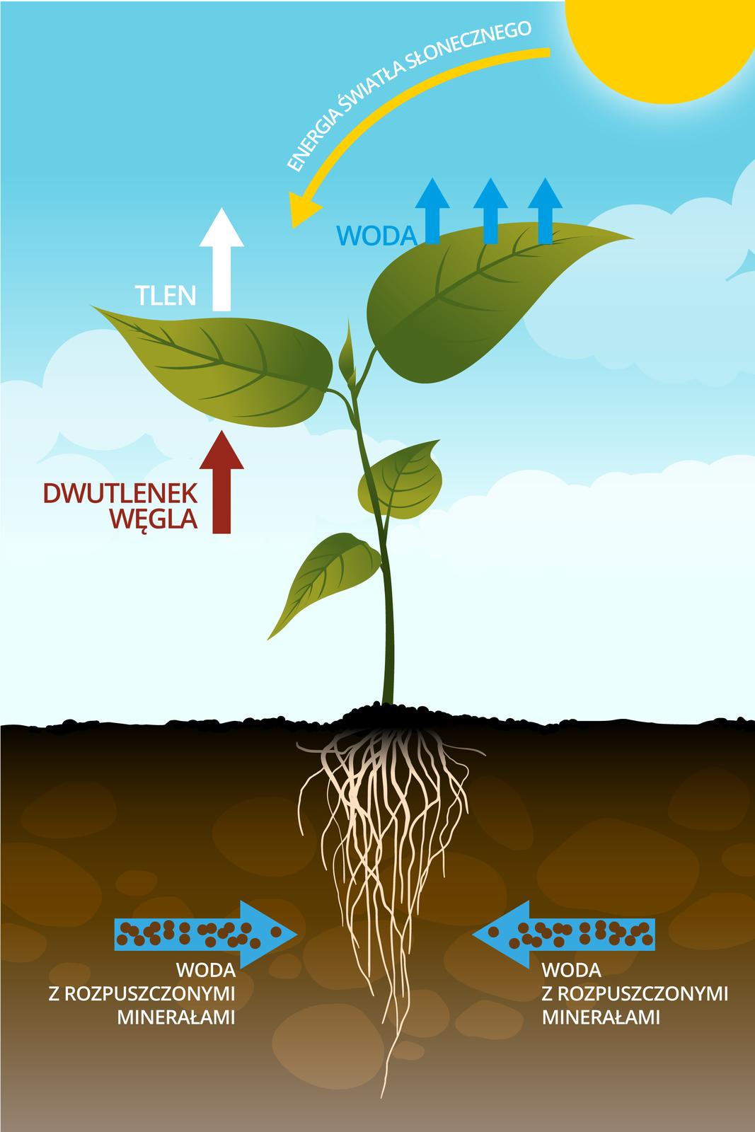 Schemat przebiegu fotosyntezy uroślin