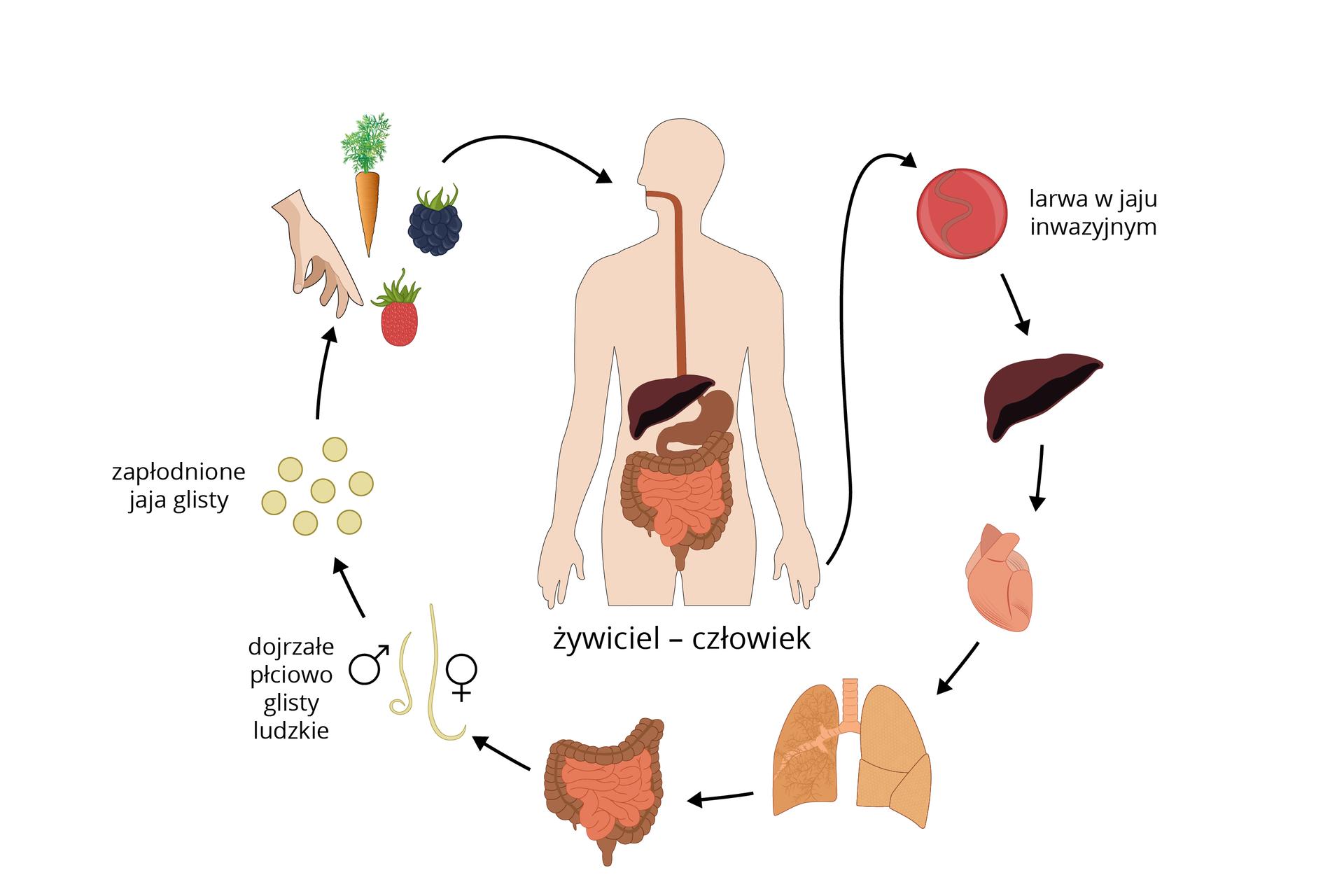 Ilustracja przedstawia schematycznie cykl rozwojowy glisty ludzkiej. Wcentrum sylwetka człowieka zwrysowanym układem pokarmowym. Wokół kolejne stadia rozwojowe wpostaci rysunków. Czarne strzałki wskazują ich kolejność.