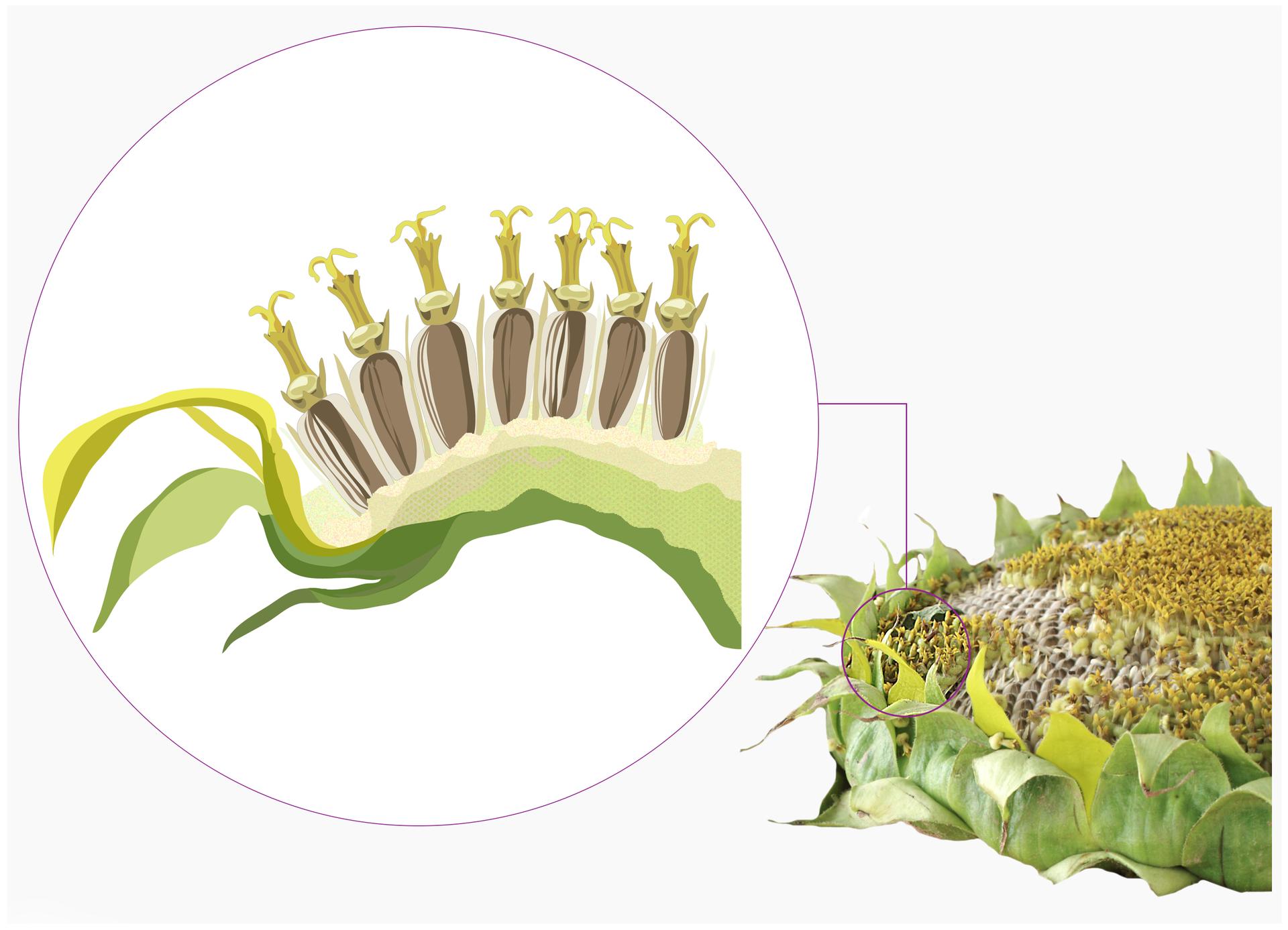 Ilustracja składa się zdwóch elementów. Na prawo zdjęcie okrągłego płaskiego kwiatostanu słonecznika. Cały kwiatostan otaczają zielone liście. Liście otrójkątnym kształcie ostro zakończone. Ostre końce wywinięte na zewnątrz. Wnętrze kwiatostanu wypełniają gęsto osadzone ziarna słonecznika. Ziarna znajdują się wotworkach. Na lewo powiększony fragment kwiatostanu słonecznika wprzekroju. Na grubym dnie kwiatostanu ułożone są ziarna słonecznika wrzędzie. Ziarna osadzone pionowo wotworkach przylegają do siebie. Nad każdym znajdują się rurkowate pozostałości słupka.