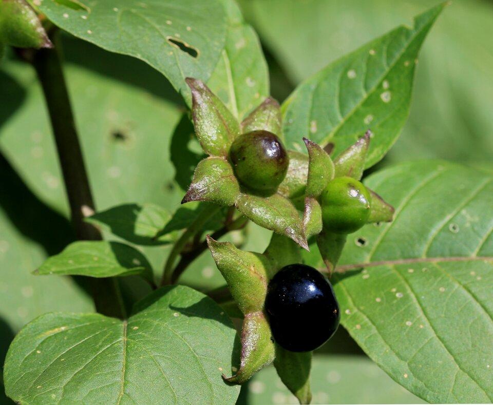 Fotografia przedstawia zbliżenie jagód ikwiatów rośliny onazwie pokrzyk wilcza jagoda. Jest to roślina trująca. Nie wolno jeść jej jagód ani zrywać jej kwiatów.
