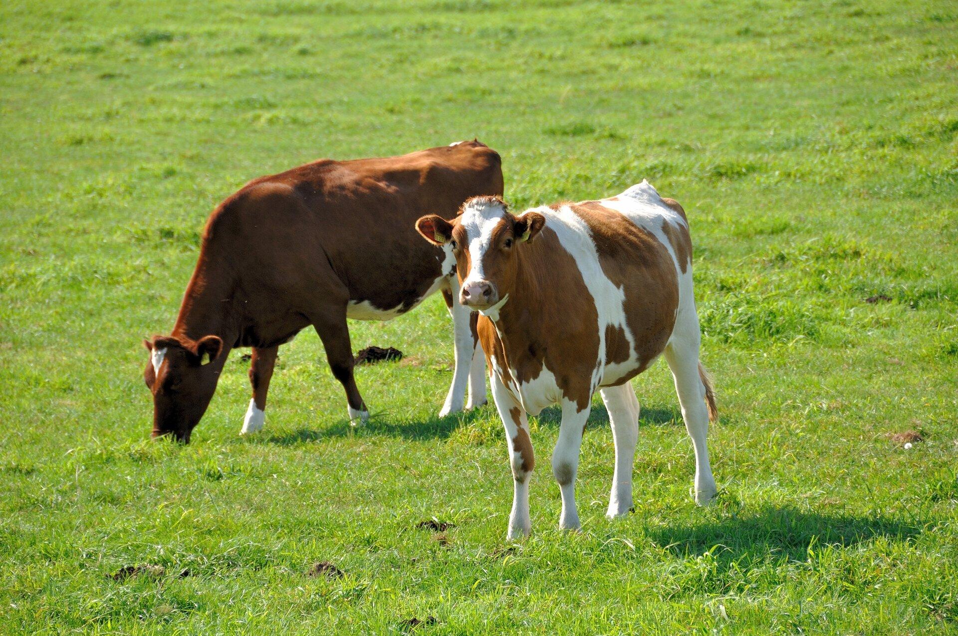 Fotografia przedstawia pięć biało-czarnych krów na pastwisku.