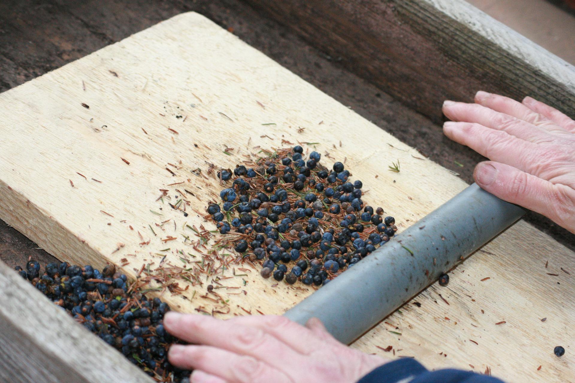 Fotografia przedstawia drewnianą deskę, na której iobok leżą granatowe szyszkojagody jałowca. Osoba trzyma ręce na metalowym wałku. Przygotowuje szyszkojagody do użytku kuchennego.