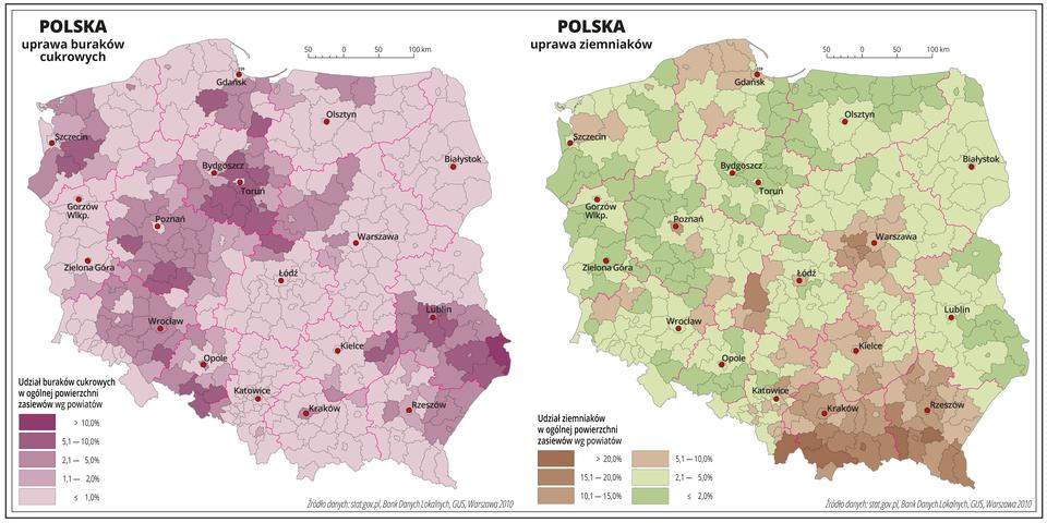 Ilustracja przedstawia dwie mapy Polski, na których pokazano udział buraków cukrowych iziemniaków wogólnej powierzchni zasiewów według powiatów. Na mapie czerwonymi liniami oznaczono granice województw, aczarnymi granice powiatów, czerwonymi kropkami oznaczono miasta wojewódzkie ije opisano. Uprawa buraków. Odcieniami koloru fioletowego przedstawiono udział buraków cukrowych wogólnej powierzchni zasiewów. Kolor najjaśniejszy obrazuje obszary poniżej jednego procenta, akolor najciemniejszy powyżej dziesięciu procent. Na przeważającej powierzchni Polski udział buraków cukrowych wogólnej powierzchni zasiewów wynosi poniżej jednego procenta. Najwyższe wartości odnotowano wwojewództwach kujawsko-pomorskim, wielkopolskim, dolnośląskim ilubelskim gdzie występują powiaty, wktórych udział buraków cukrowych wogólnej powierzchni zasiewów przekracza pięć procent. Uprawa ziemniaków. Na przeważającym obszarze Polski udział ziemniaków wogólnej powierzchni zasiewów nie przekracza pięciu procent, co oznaczono na mapie kolorem zielonym. Obszary, na których udział ziemniaków wogólnej powierzchni zasiewów przekracza pięć procent oznaczono kilkoma odcieniami koloru brązowego iobejmują one pojedyncze powiaty wwojewództwie wielkopolskim, pomorskim, mazowieckim, województwo świętokrzyskie, małopolskie ipodkarpackie. Na obszarach górskich najwięcej jest obszarów najciemniejszych obrazujących udział ziemniaków wogólnej powierzchni zasiewów powyżej piętnastu, anawet powyżej dwudziestu procent.
