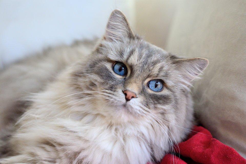 Fotografia prezentuje kota długowłosego zniebieskimi oczami leżącego na poduszce.