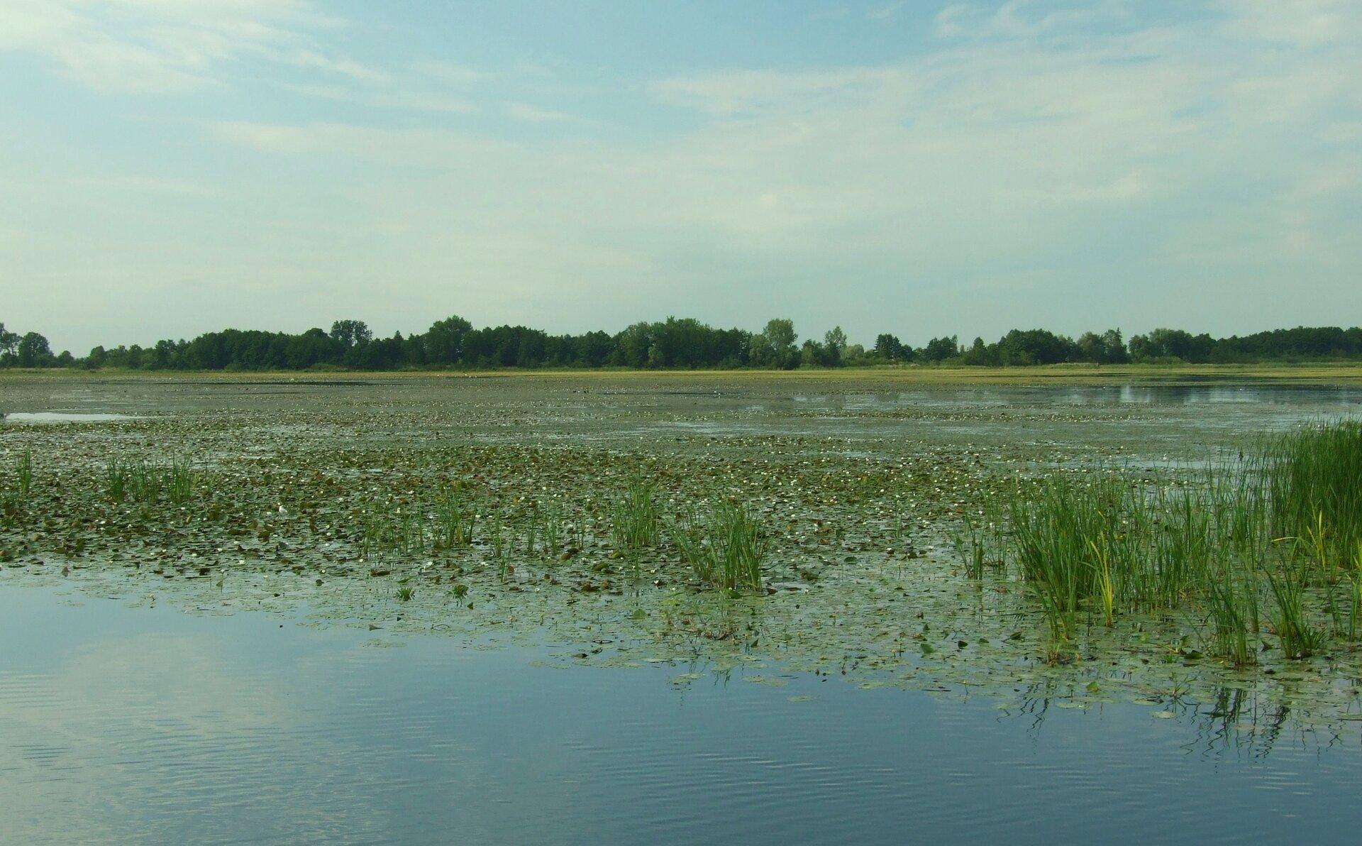 Na zdjęciu jezioro, wwodzie trzciny irośliny opływających liściach. Wtle las.