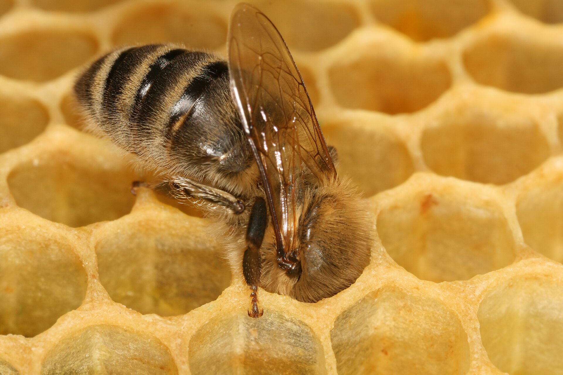 Wosk pszczeli