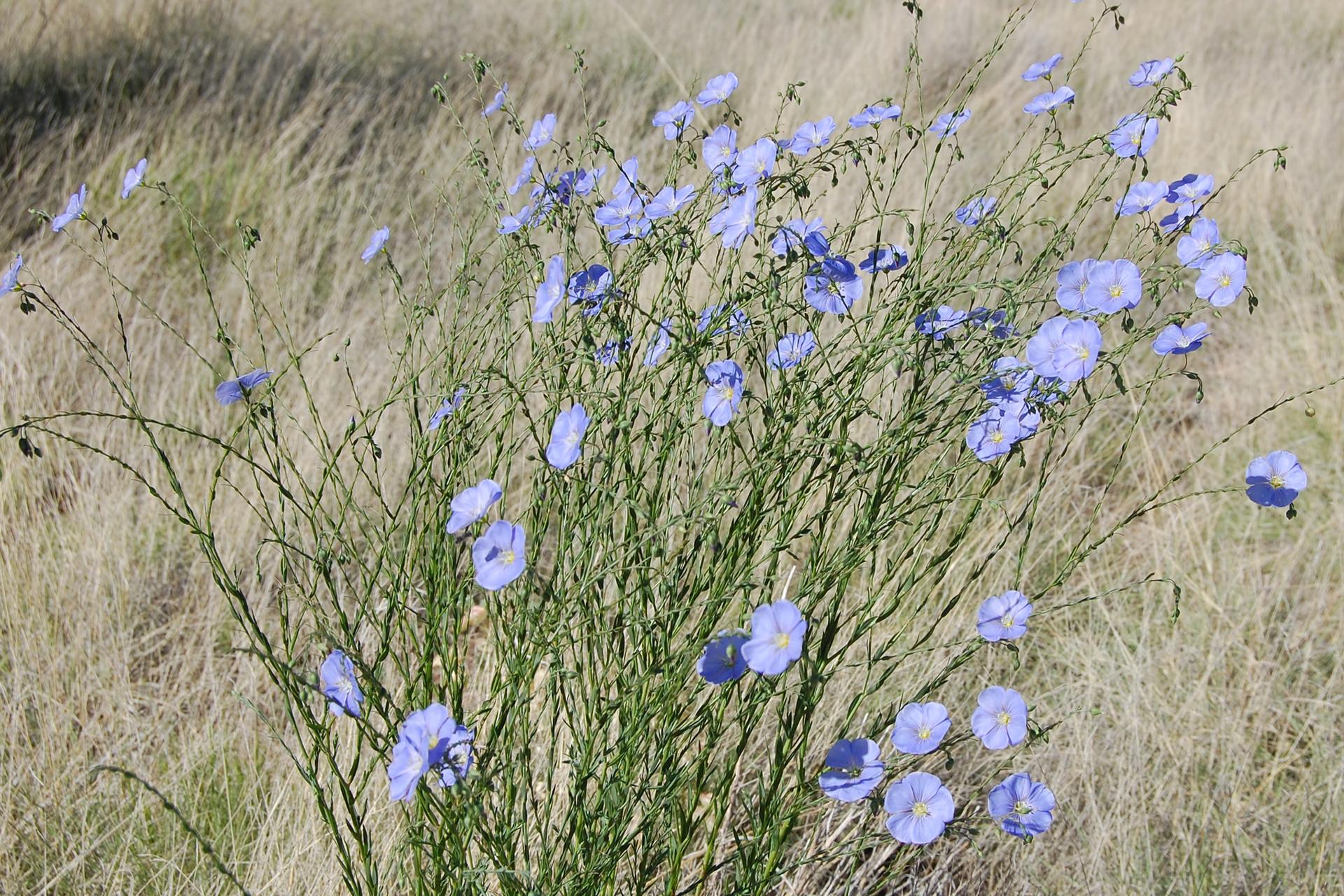 Fotografia przedstawia pędy lnu zbłękitnymi kwiatami na szczycie. Len rośnie wśród zeschniętej trawy. Jego łodygi są cieniutkie, liście wąskie, krótkie. Len jest rośliną jednoroczną.