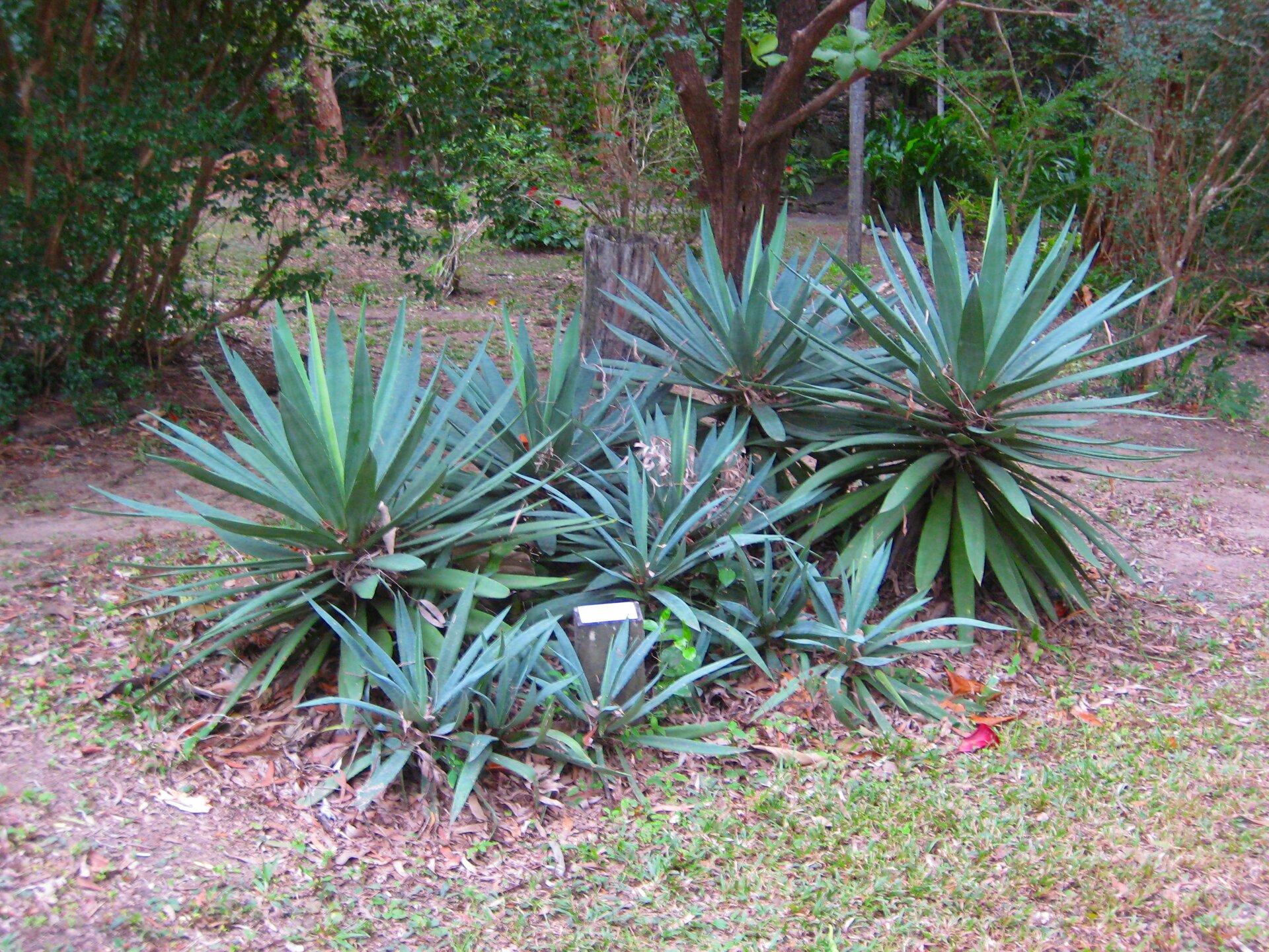 Na zdjęciu kilka roślin oogromnych, mięsistych, ciemnozielonych, lancetowatych, ostrych liściach. Tworzą rozetę liściową. Wtle drzewa.