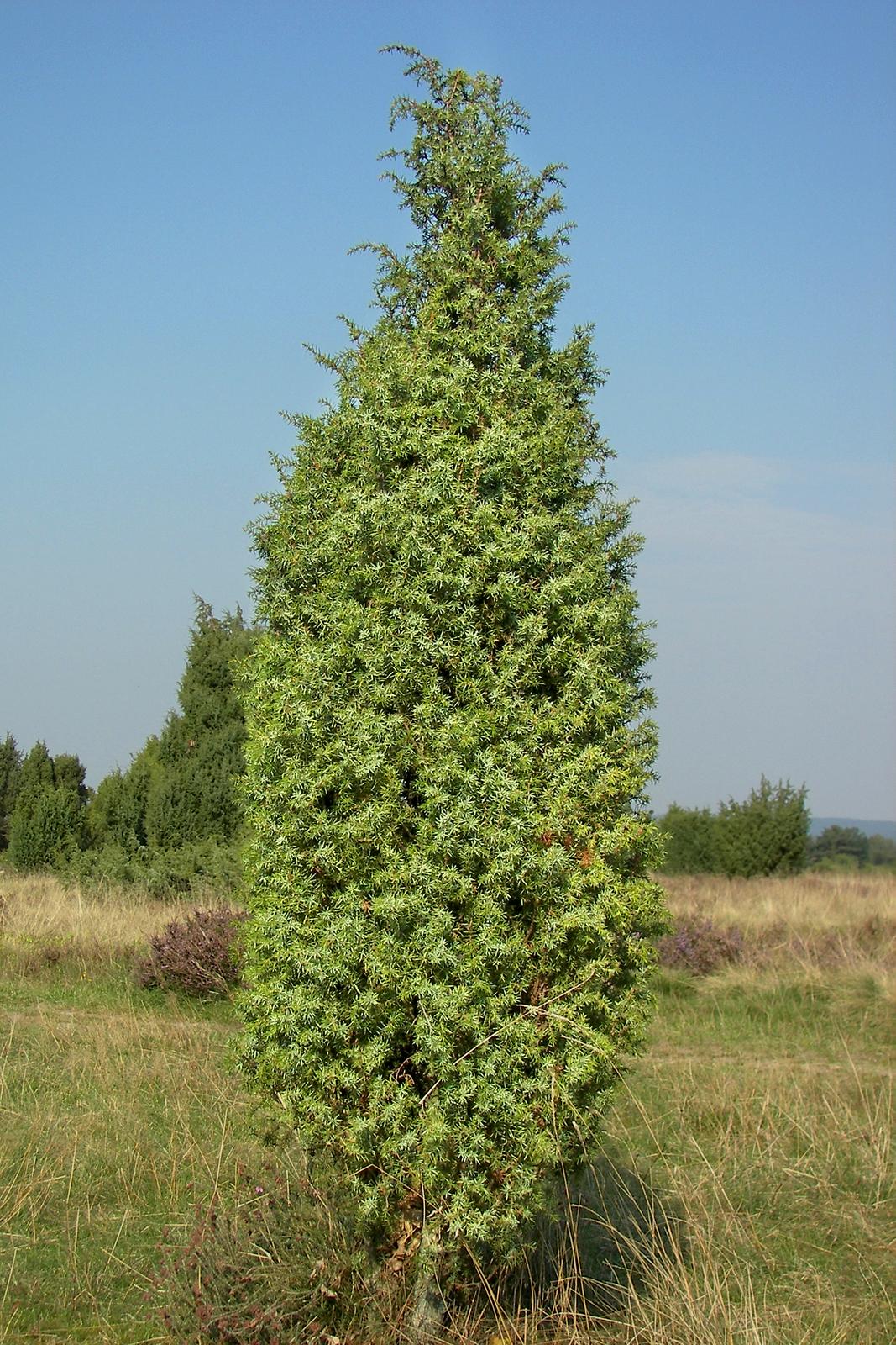 Zdjęcie przedstawia jałowiec. Roślina jest krzewem ojajowatym kształcie.