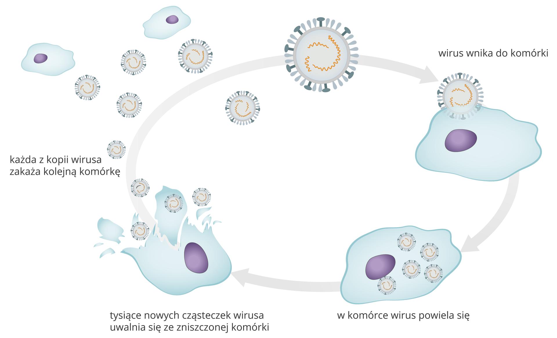 Galeria składa się zdwóch ilustracji. Ilustracje ułożone wpoziomie obok siebie. Pierwsza przedstawia wnikanie wirusa do komórki inamnażanie się wniej. Proces składa się zkilku faz. Na górze schematu widać kulisty wirus zwypustkami na powierzchni. Wfazie pierwszej wirus wnika to komórki. Komórka to twór opofalowanych brzegach zjądrem wśrodku. Druga faza to namnażanie się (powielanie) tego samego wirusa we wnętrzu komórki wtysiącach kopii. Na rysunku komórka jest wypełniona drobnymi wirusami wkolorze niebieskim. Trzecia faza to rozpad komórki. Na rysunku zewnętrzna otoczka jest przerwana, adrobne wirusy wydostają się na zewnątrz rozerwanej komórki. Poniżej informacja: tysiące nowych cząsteczek wirusa uwalnia się ze zniszczonej komórki. Czwarta faza: małe okrągłe wirusy znajdują się wpobliżu kolejnych komórek. Poniżej informacja: każda zkopii wirusa zakaża kolejną komórkę. Poszczególne fazy łączy szara strzałka. Groty strzałek wskazują kolejne ilustracje zgodnie zruchem wskazówek zegara. Schemat ma kształt elipsy.