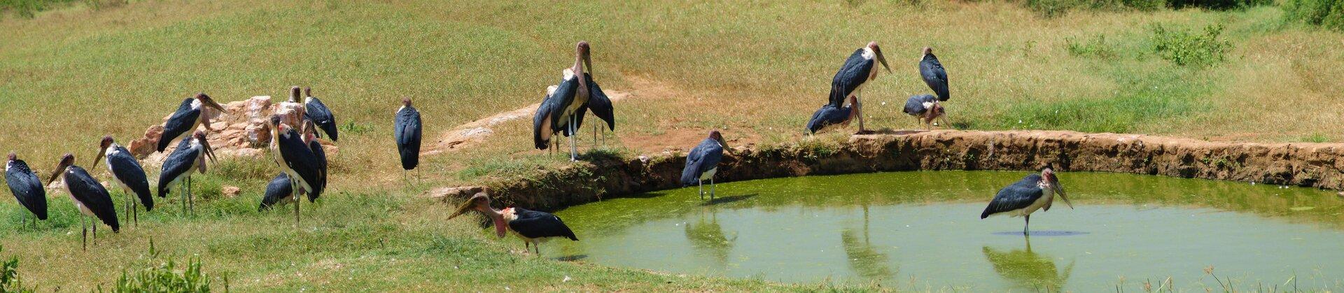 Fotografia przedstawia stado marabutów na brzegu sadzawki. Ptaki przypominają sylwetką bociany. Mają czarne skrzydła, białe szyje, czerwone dzioby inogi. Głowy iszyje są pozbawione piór. Trzy ptaki stoją wwodzie, reszta na brzegu. Sylwetka ptaków jest zgarbiona, gdyż podwijają one szyje.