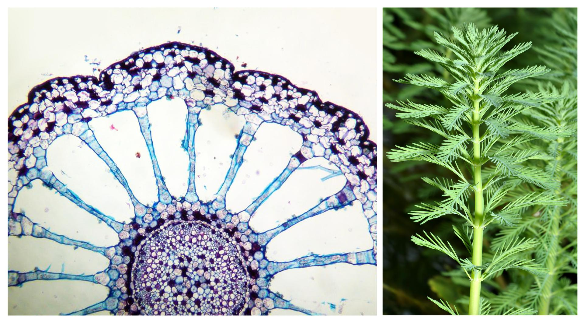 Ilustracja przedstawia 2 obrazy: mikroskopowy - przekroju poprzecznego przez łodygę; widać na nim duże przestwory pomiędzy komórkami oraz pęd wywłócznika wwodzie.