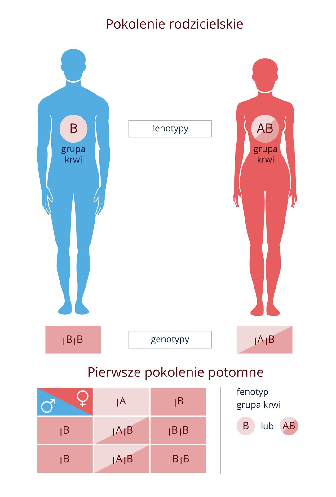 Ilustracje krzyżówek genetycznych mają dać odpowiedź na pytanie, czy dzieci rodziców, mających grupy krwi BiAB mogą mieć grupę krwi 0? Ilustracja przestawia niebieską sylwetkę mężczyzny zgrupą krwi Biróżową sylwetkę kobiety zgrupą krwi AB. Pod nimi wypisane genotypy: mężczyzna jest homozygotą. Poniżej na różowym tle krzyżówka genetyczna. Wpokoleniu potomnym połowa dzieci ma krew grupy AB, połowa grupy B.