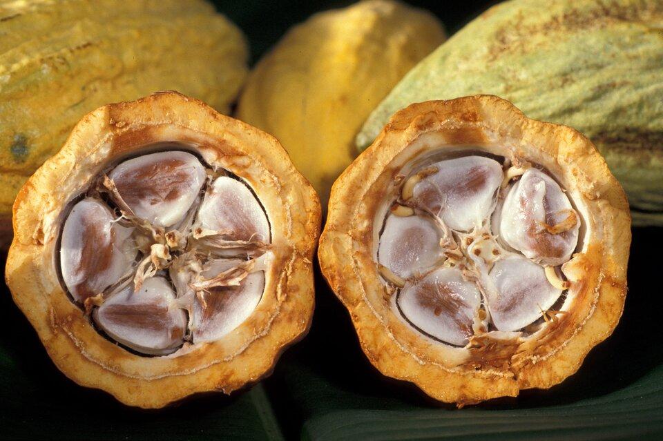 Na zdjęciu przekrojony owoc ogrubej pomarańczowej łupinie, wktórej znajdują się otoczone białym miąższem nasiona – ziarna kakaowe. Nasiona zatopione wmiąższu układają się wkształt pięciopłatkowego kwiatka.